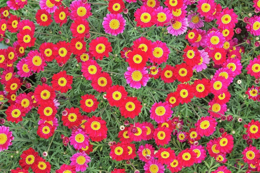 variedades de Argyranthemum frutescens