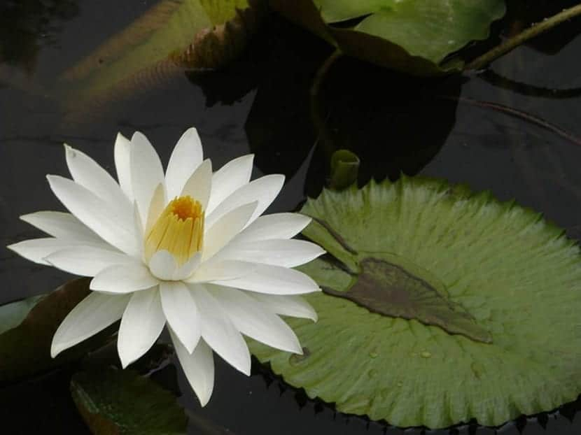 Nymphaea lotus o Tiger lotus