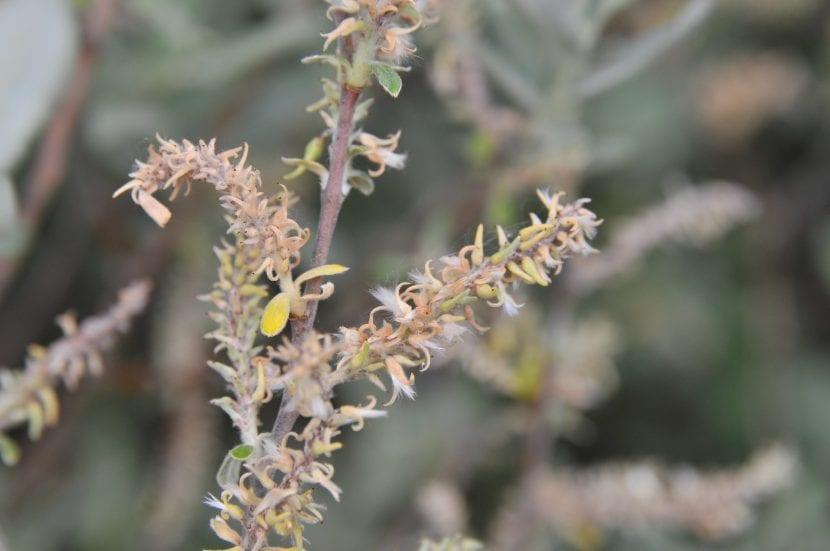 Los amentos del Salix salviifolia son de color claro