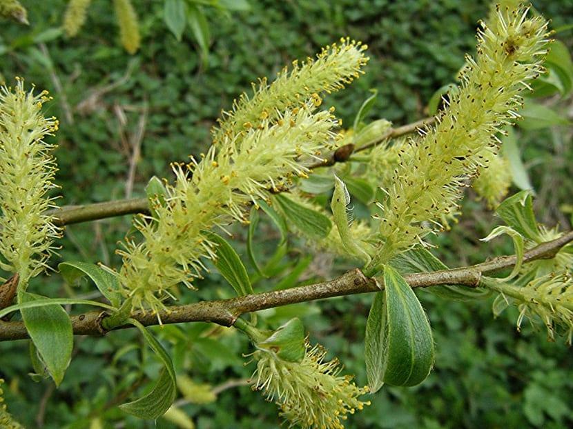arbol en flor llamado Salix fragilis