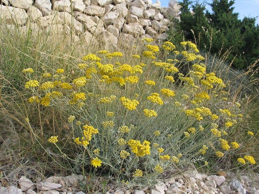 arbusto con flores amarillas que tolera muy bien el calor
