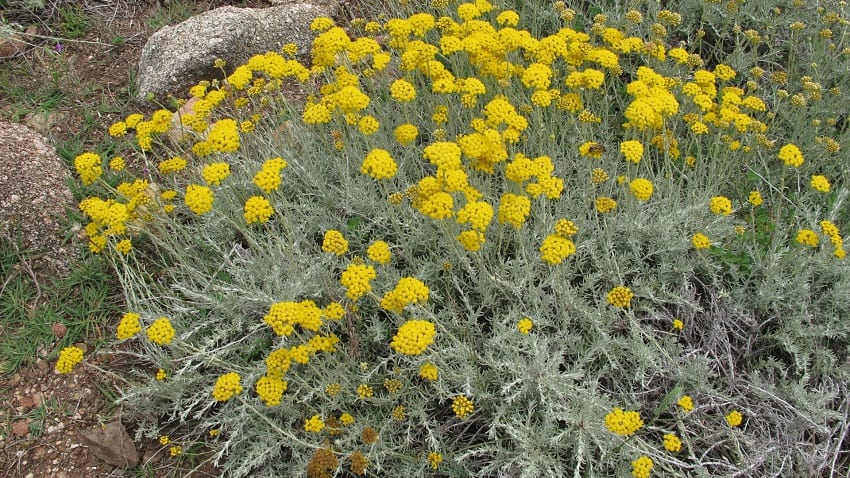 arbusto con flores amarillas