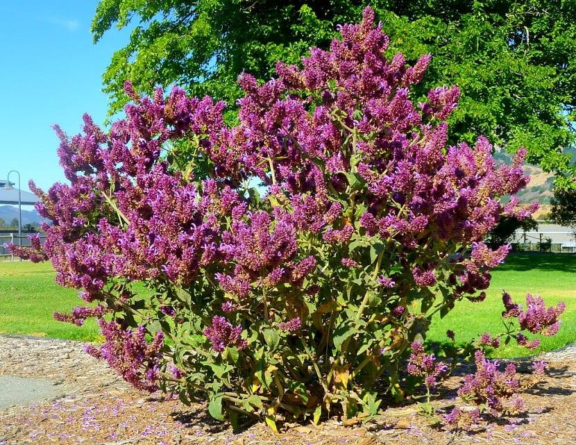 arbusto llamado Salvia canariensis