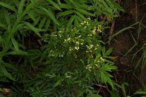 arbusto con pequenas flores de color amarillo