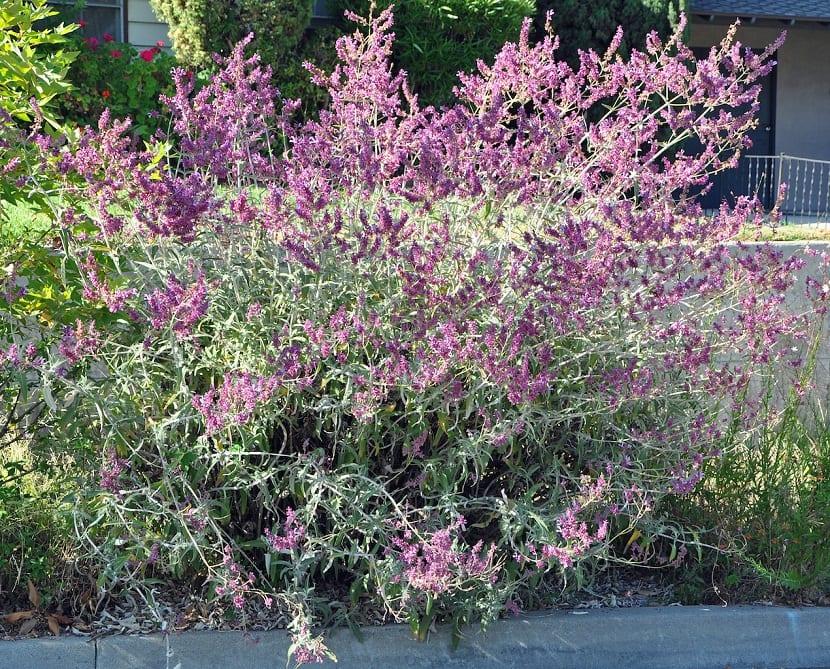 arbusto con ramas muy finas y flores de color lila