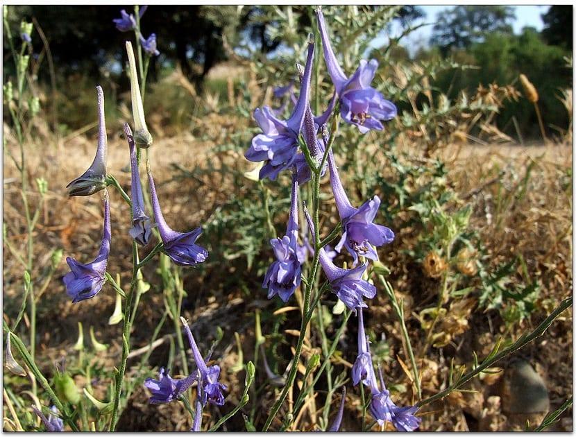 arbusto lleno de flores moradas y de nombre Delphinium gracile