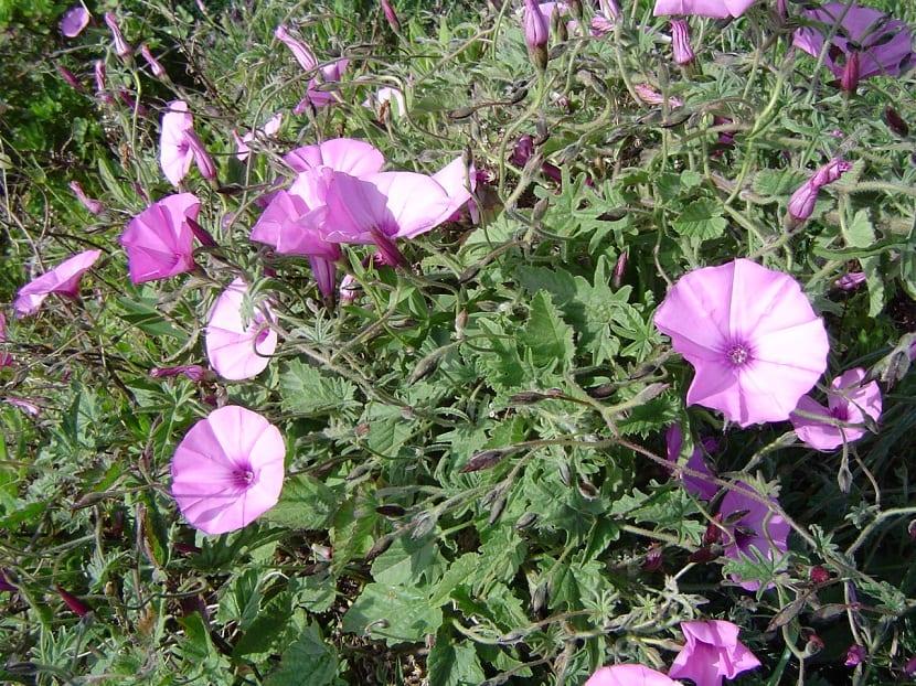 arbusto o enredadera con flores rosas