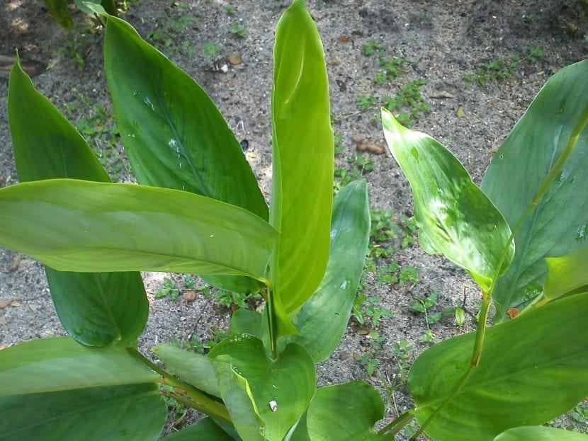Vista del arrurruz de hoja verde