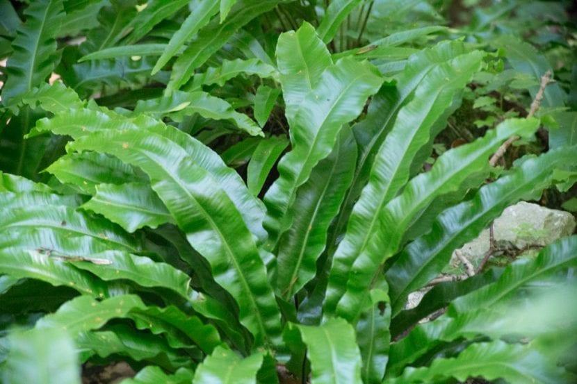 Vista del Asplenium scolopendrium