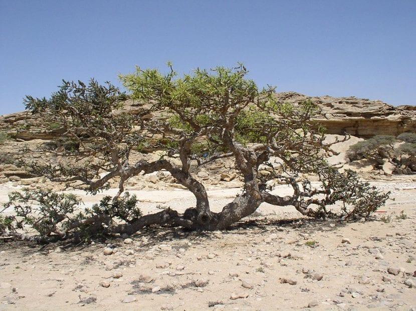 Vista de la Boswellia en hábitat