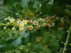 Boswellia sacra, un arbusto de flores preciosas