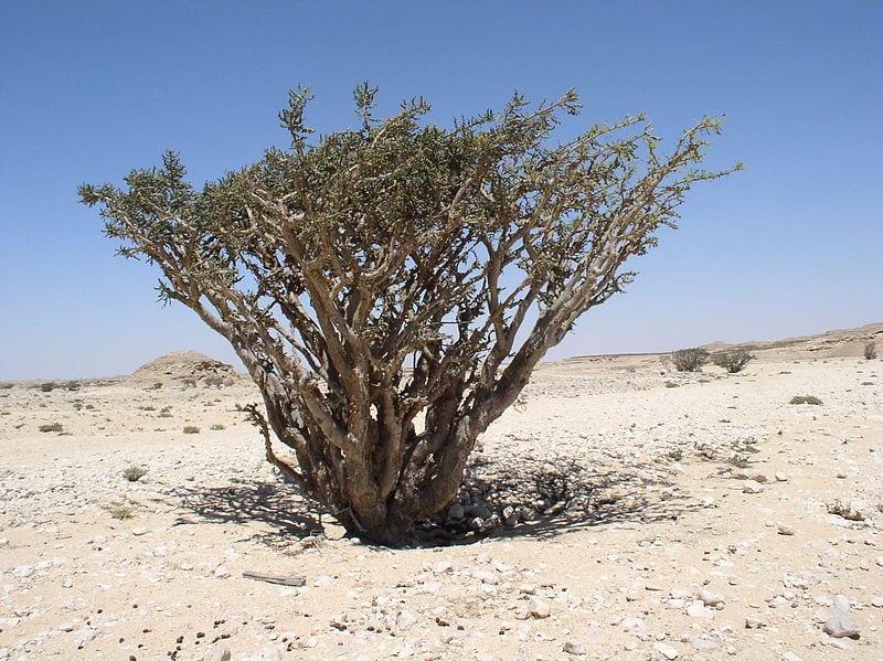 Bosweelia sacra en hábitat