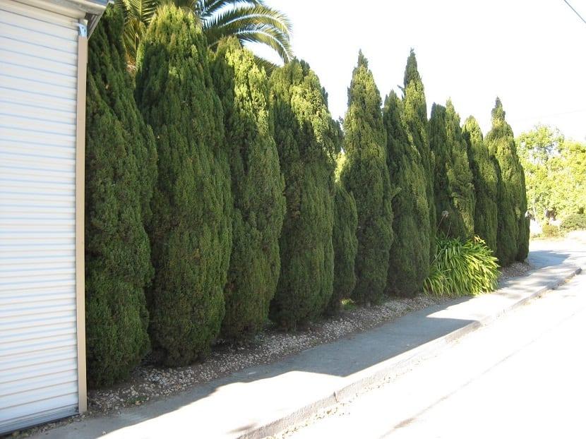 "casa rodeada de pequenos arboles llamados Cupressus sempervirens ""Stricta"")"
