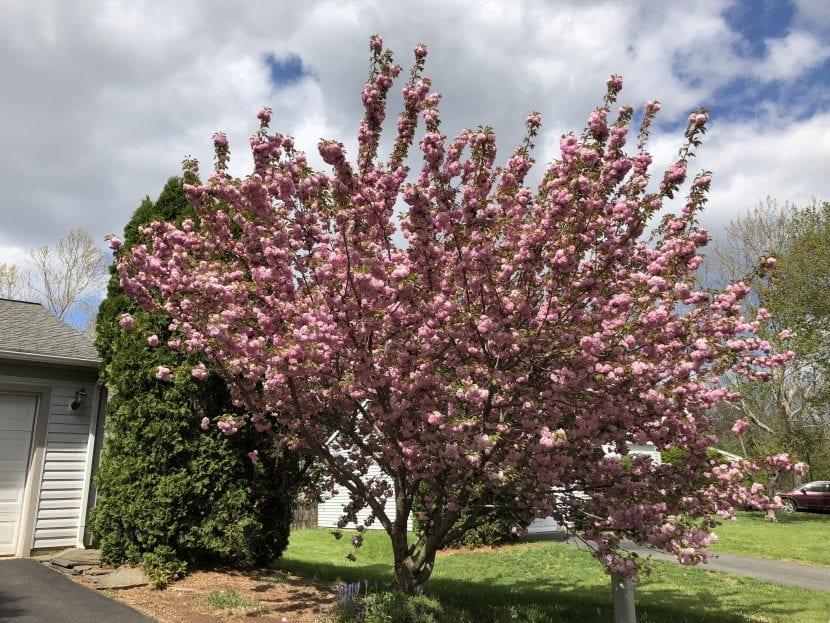 El cerezo Kanzan es un árbol ornamental
