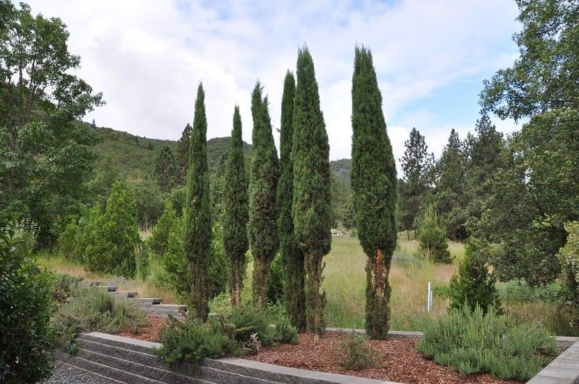 cuatro cipreses en medio de un bosque