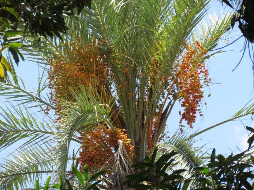 La datilera es una palmera que se multiplica fácil por semillas