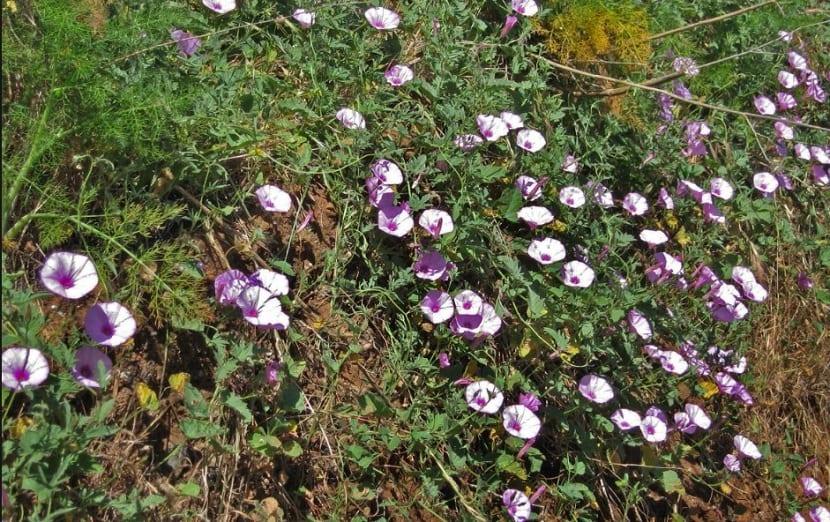 enredadera que cuenta con flores de pequeno tamano