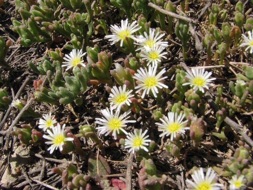 pequenas flores amarillas con petalos finos y alargados