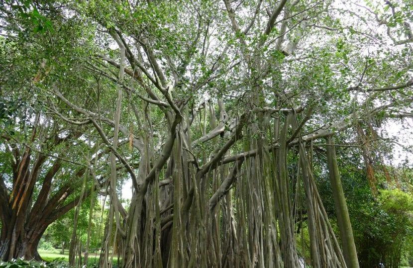 Vista del Ficus benghalensis