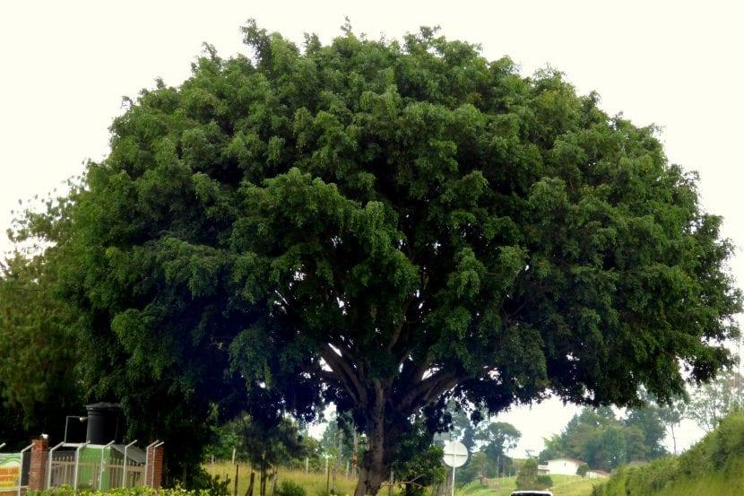 Vista del Ficus benjamina adulto en un parque