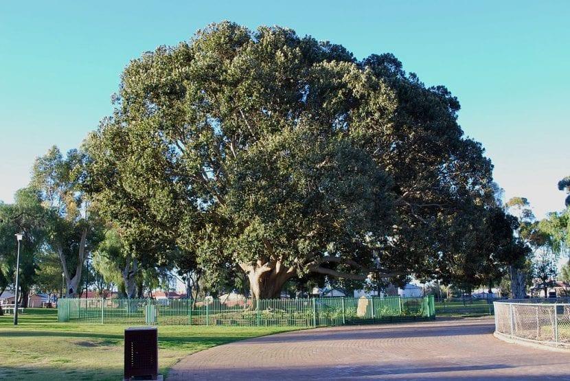Vista del Ficus macrophylla adulto