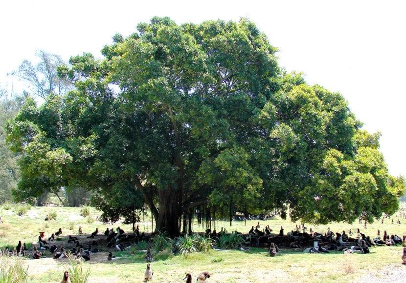 Ficus microcarpa en un parque