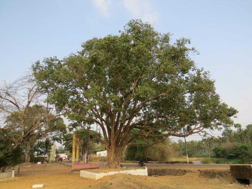 Vista del Ficus religiosa joven