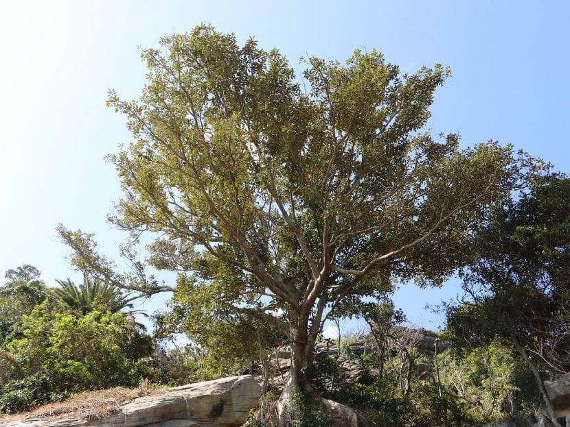 Ficus rubiginosa en un jardín grande