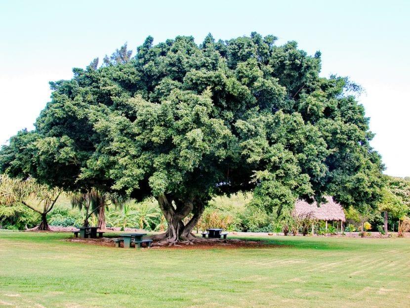 Vista de un Ficus microcarpa adulto