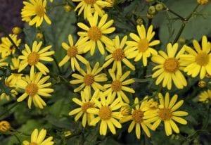 flores amarillas de una hierba silvestre
