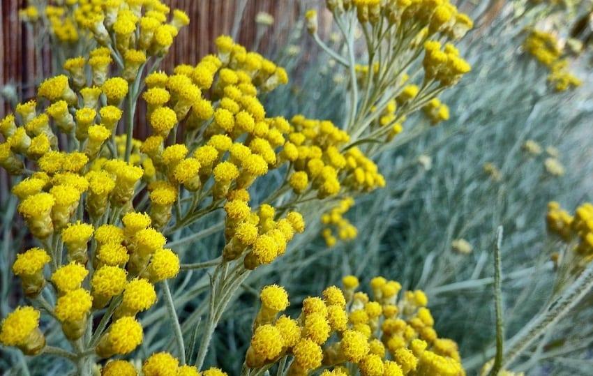 flores amarillas parecidas a la manzanilla