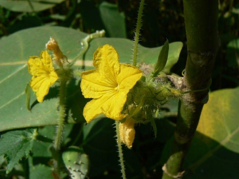 Las flores del melón son amarillas