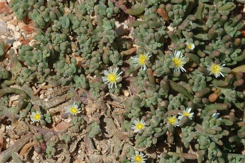 flores similares a las margaritas que salen de una especie de cactus