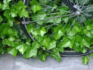 hiedra enredada en rueda de bicicleta