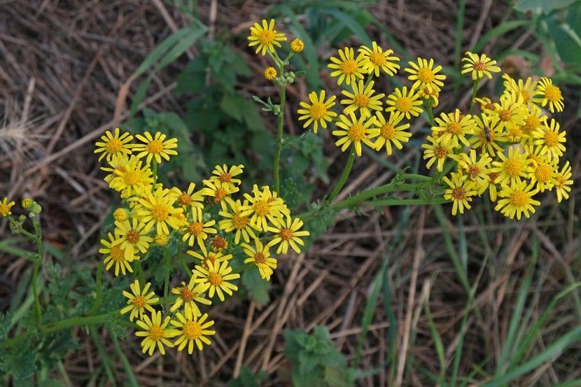 hierba silvestre con flores de color amarillo