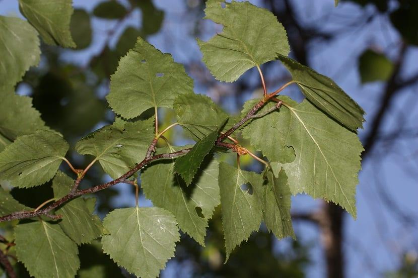 hojas mordidas por algun insecto del arbol Betula papyrifera