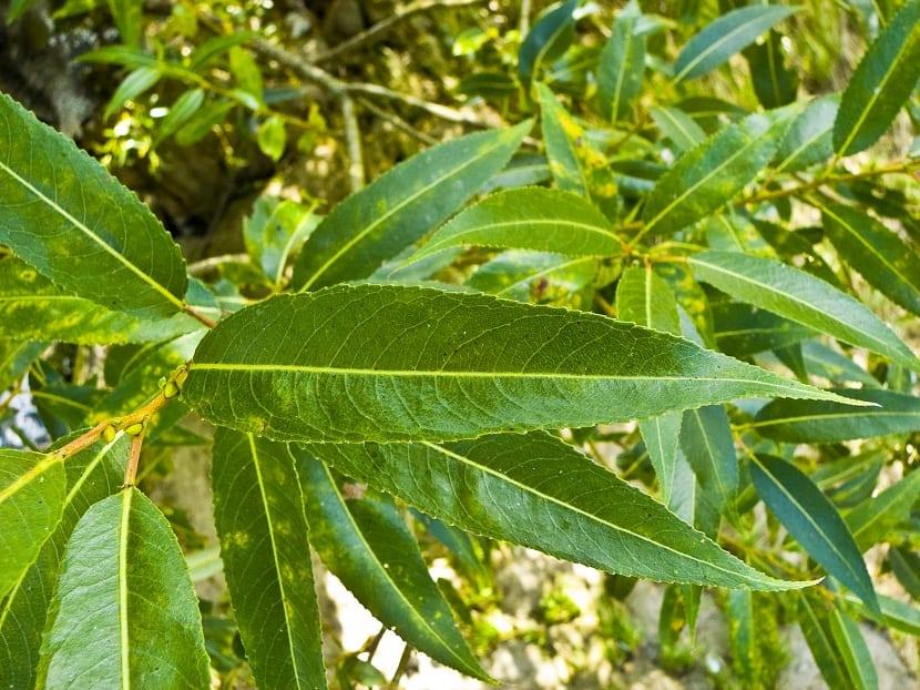 hojas alargadas y verdes de un sauce