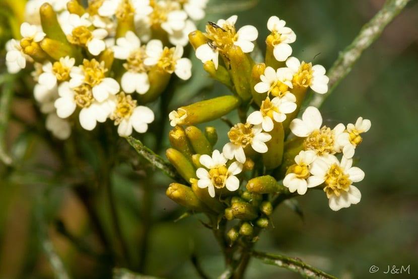 imagen de cerca de las flores del Tagetes minuta