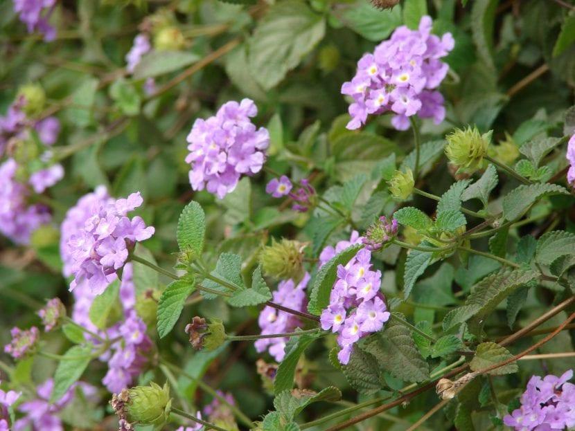Las flores de la Lantana montevidensis son púrpuras