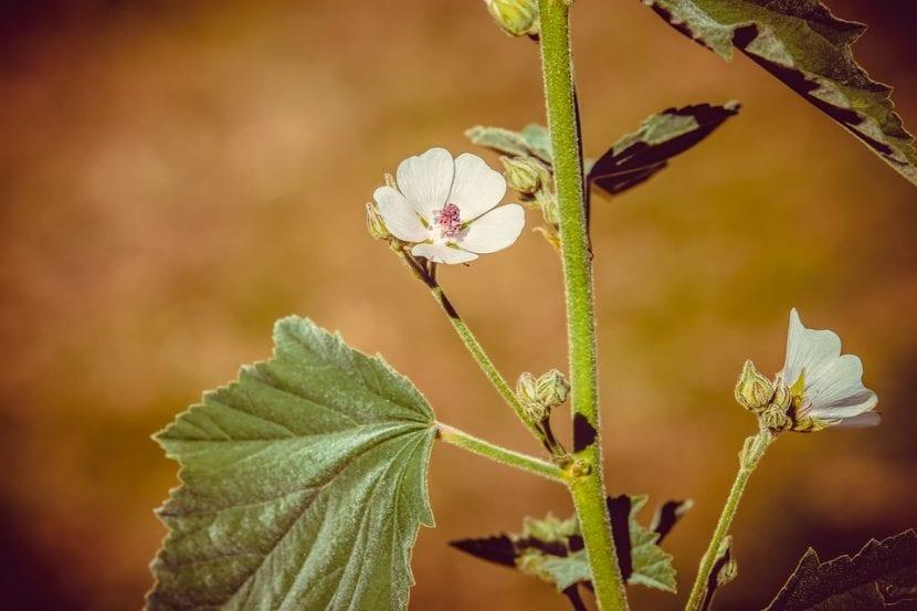 Las flores del malvavisco son medianas