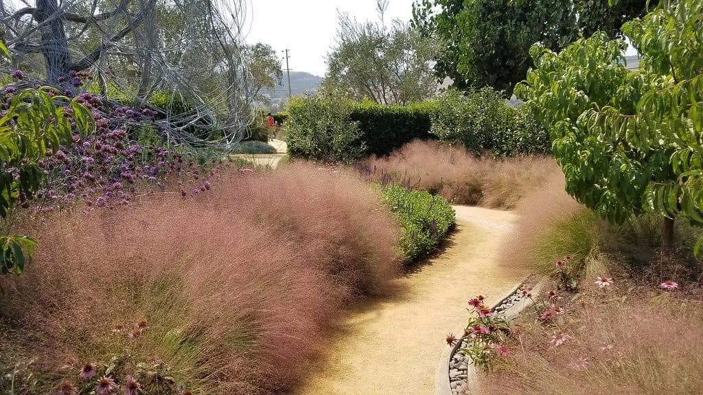 La Muhlenbergia capillaris es una hierba perenne