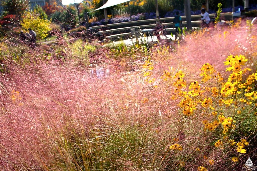 La Muhlenbergia es una hierba ornamental