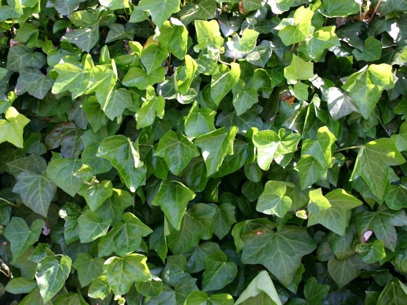 foto de cerca de la Hiedra del Atlántico para ver sus hojas mejor
