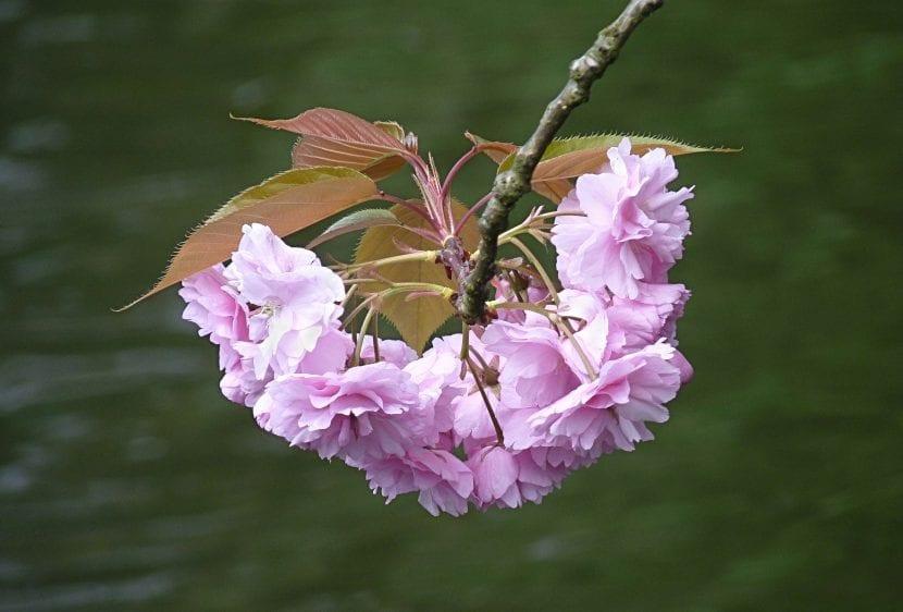 Las flores del Prunus Kanzan son dobles