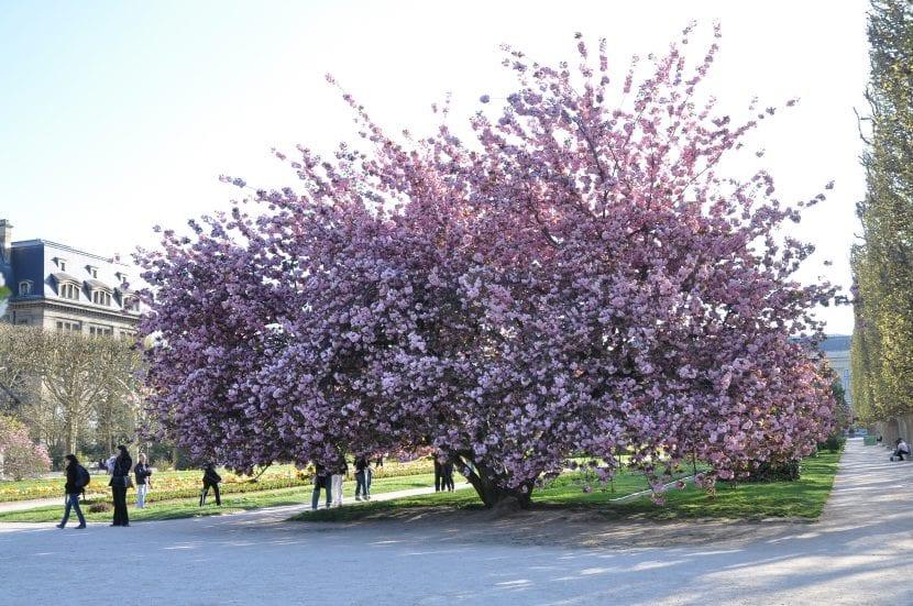 El Prunus serrulata es un árbol caducifolio