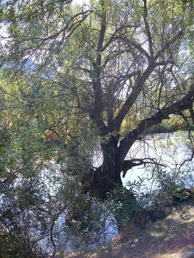 El Salix salviifolia es un árbol