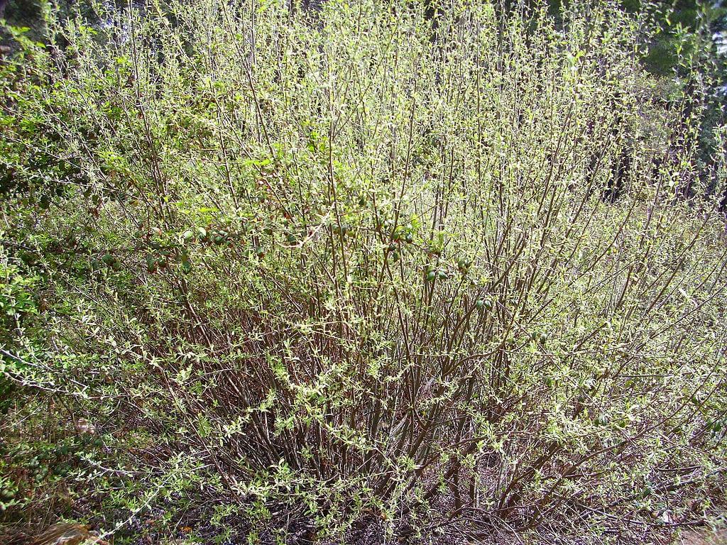 Vista del Salix salviifolia