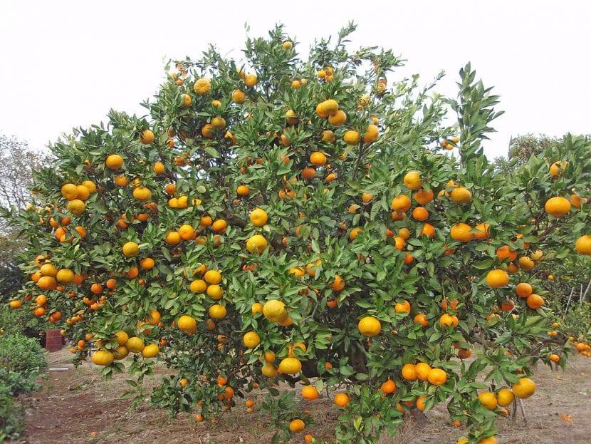 El satsuma es un árbol frutal