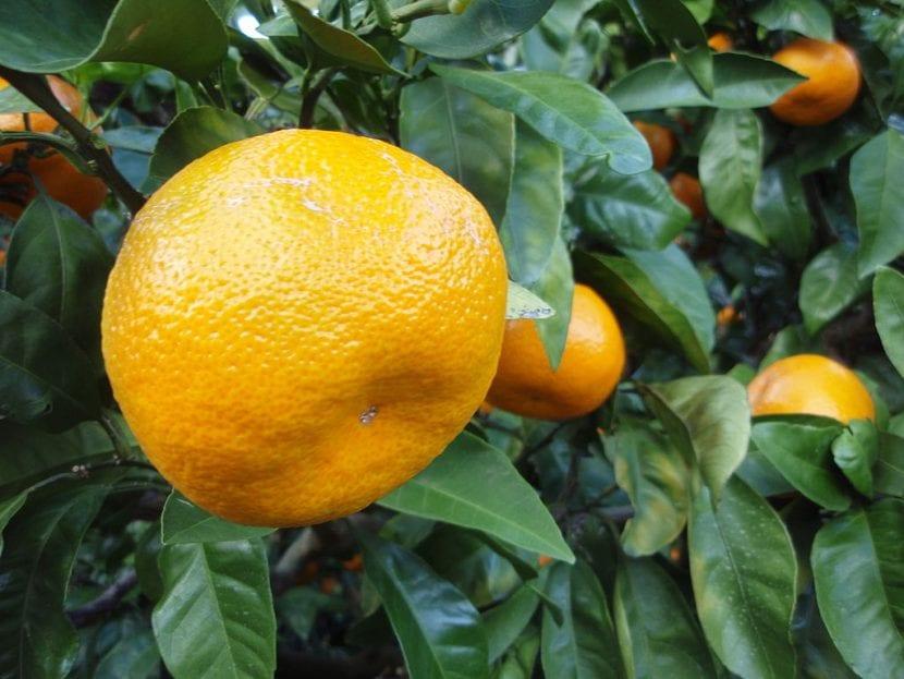 Los frutos del satsuma se parecen a las naranjas