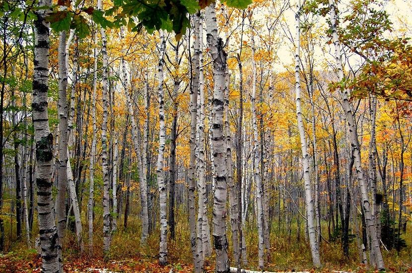 troncos de arboles delgados y con pocas hojas